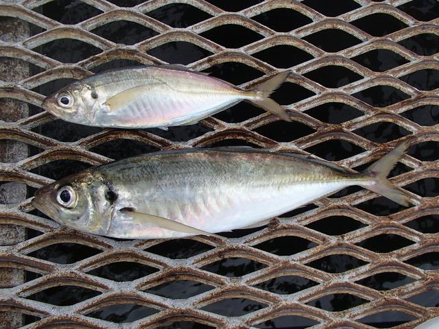 東京湾で釣れたアジが巨大化していると話題に